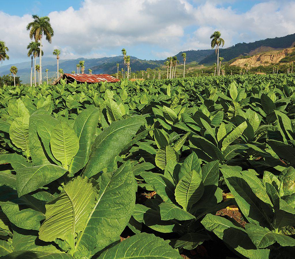 Một cánh đồng trồng lá xì gà ở một thung lũng thuộc Cộng hòa Dominica.